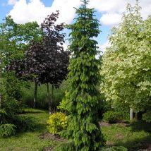 "Eglė serbinė""Bruns""/ Pendula <br>(Picea omorika""Bruns""/Pendula)"