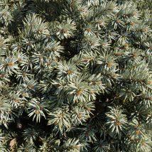 Eglė dygioji 'Blue Perl' <br>(Picea pungens 'Blue Perl')