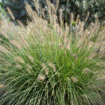 "Plaukuotoji soruolė ""Herbstzauber"" <br>(Pennisetum alopecuroides ""Herbstzauber"")"