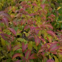 "Vytmenis kvapusis""Bridal Bouguet""<br>(Abelia mosanensis""Bridal Bouguet"")"