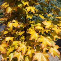 "Klevas ritinis""Minorient"" <br>(Acer orientalia""Minorient"")"