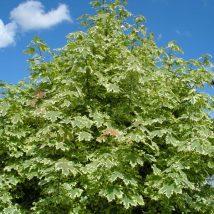 """Klevas paprastasis """"Drummondii"""" <br>(Acer platanoides """"Drummondii"""")"""