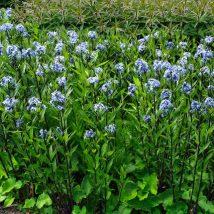 Dirktas amerikinis <br>(Amsonia tabernaemontana salicifolia)