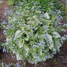 """Brunera stambialapė""""Jack Frost""""<br>(Brunnera macrophylla""""Jack Frost"""")"""