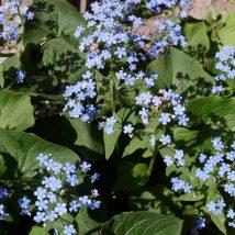 Brunera stambialapė<br>(Brunnera macrophylla)