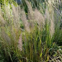 Korėjinis lendrūnas <br>(Calamagrostis brachytricha)