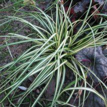 "Viksva ošimos ""Evergold"" <br>(Carex oshimensis ""Evergold"")"