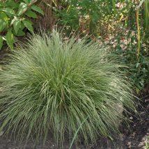 "Viksva kalninė""Raureich""  <br>(Carex montana ""Raureich"")"