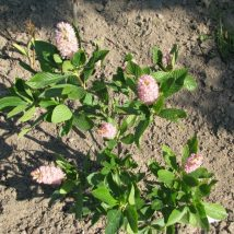 Alksnotis tikrasis 'Pink Spire' <br>(Clethra alnifolia 'Pink Spire')