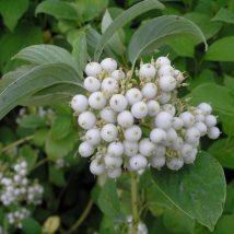 "Sedula baltoji ""Siberian Pearls"" <br>(Cornus alba ""Siberian Pearls"")"