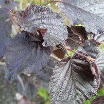 "Lazdynas didysis ""Purpurea""<br>(Corylus maxima ""Purpurea"")"