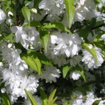 "Deucija hybridinė""Strawberry Fields""<br>(Deutzia hybrida""Strawberry Fields"")"