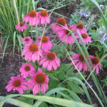 """Ežiuolė rausvažiedė""""Fatal Atraction"""" <br>(Echinacea purpurea""""Fatal atraction"""")"""