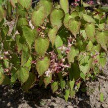 Epimedis jungo 'Roseum'  <br>(Epimedium x youngianum 'Roseum')