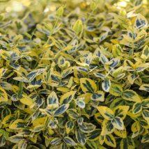 """Ožekšnis vijoklinis """"Emerald'N Gold""""<br>(Euonymus fortunei """"Emerald'N Gold"""")"""