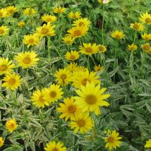 "Saulakis šiurkštusis""Loraine Sunshine""<br>(Heliopsis helionthoides""Loraine Sunshine"")"