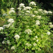 """Hortenzija šviesioji """"White Dome"""" <br>(Hydrangea arborescens """"White Dome"""")"""