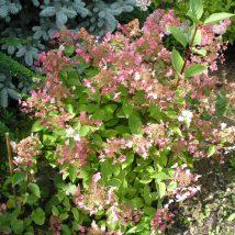 "Hortenzija šluotelinė ""Wims'Red"" <br>(Hydrangea paniculata ""Wim's Red"")"