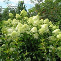"""Hortenzija šluotelinė """"Limelight""""<br>(Hydrangea paniculata """"Limelight"""")"""