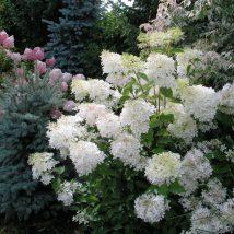 """Hortenzija šluotelinė """"Phantom"""" <br>(Hydrangea paniculata """"Phantom"""")"""