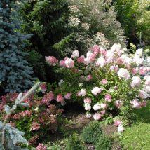 """Hortenzija šluotelinė """"Renhy'=Vanille fraise""""<br>(Hydrangea paniculata """"Renhy'=Vanille fraise"""")"""