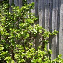 Hortenzija laipiojančioji <br>(Hydrangea petiolaris)
