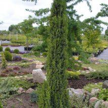 """Kadagys paprastasis """"Arnold"""" <br>(Juniperus communis """"Arnold"""")"""