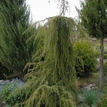 """Kadagys paprastasis """"Horstmann"""" <br>(Juniperus communis """"Horstmann"""")"""