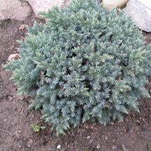 """Kadagys žvynuotasis  """"Blue Star"""" <br>(Juniperus squamata """"Blue Star"""")"""