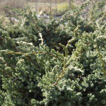"Kadagys žvynuotasis ""Meyeri"" <br>(Juniperus squamata ""Meyeri"")"