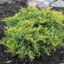 "Kadagys tarpinis  ""Gold Star"" <br>(Juniperus x media ""Gold Star"")"