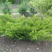 """Kadagys tarpinis """"Mint Julep"""" <br>(Juniperus x media """"Mint Julep"""")"""
