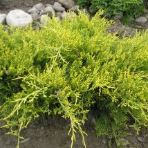 "Kadagys tarpinis ""Old Gold"" <br>(Juniperus x media ""Old Gold"")"