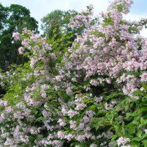 "Kolkvicija puošnioji""Pink Cloud"" <br>(Kolkwitzia amabilis""Pink Cloud"")"
