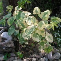 """Pelevirkštis japoninis""""Variegata""""<br>(Faliopia japonica""""Variegata"""")"""