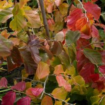 Parotija persinė<br>(Parrotia persica)