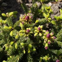 Eglė paprastoji 'Pusch' <br> (Picea abies 'Pusch')