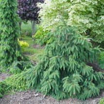 """Eglė paprastoji """"Acrocona"""" <br>(Picea abies""""Acrocona"""")"""