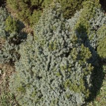 "Eglė baltoji ""Blue Wonder"" <br>(Picea glauca""Blue Wonder"")"