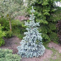 "Eglė dygioji ""Blue Montain"" <br>(Picea pungens""Blue Mountain"")"