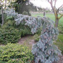 "Eglė dygioji ""Glauca Pendula"" <br>(Picea pungens""Glauca Pendula"")"