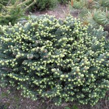 "Eglė dygioji ""Waldbrunn"" <br>(Picea pungens""Waldbrunn"")"