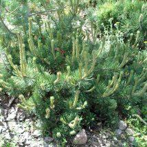 "Pušis kalninė ""Parade Kissen"" <br>(Pinus mugo ""Parade Kissen"")"
