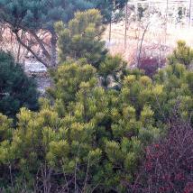 """Pušis kalninė """"Carsten's"""" <br>(Pinus mugo """"Carsten's"""")"""