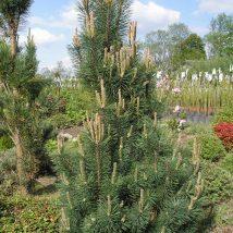 "Pušis kalninė  ""Columnaris"" <br>(Pinus mugo""Columnaris"")"
