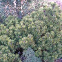 """Pušis kalninė """"Ophir"""" <br>(Pinus mugo """"Ophir"""")"""