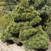 """Pušis juodoji """"Nana"""" <br>(Pinus nigra """"Nana"""")"""