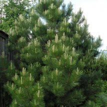 Pušis juodoji <br>(Pinus nigra)