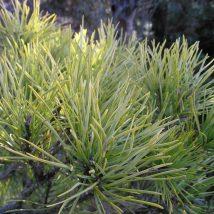 "Pušis paprastoji ""Aurea"" <br>(Pinus sylvestris ""Aurea"")"