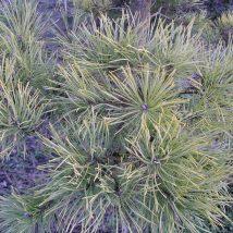 "Pušis paprastoji ""Wintergold"" <br>(Pinus sylvestris ""Wintergold"")"